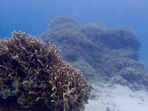 枝サンゴ2