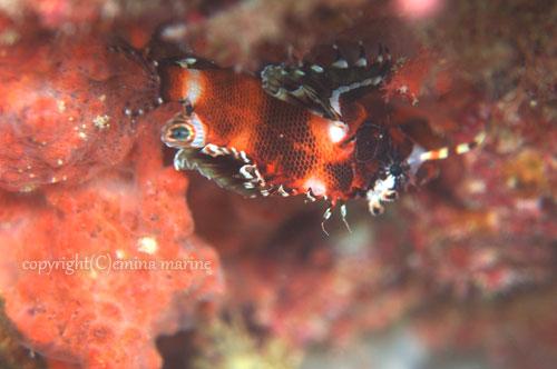 ヒレボシミノカサゴ(幼魚)