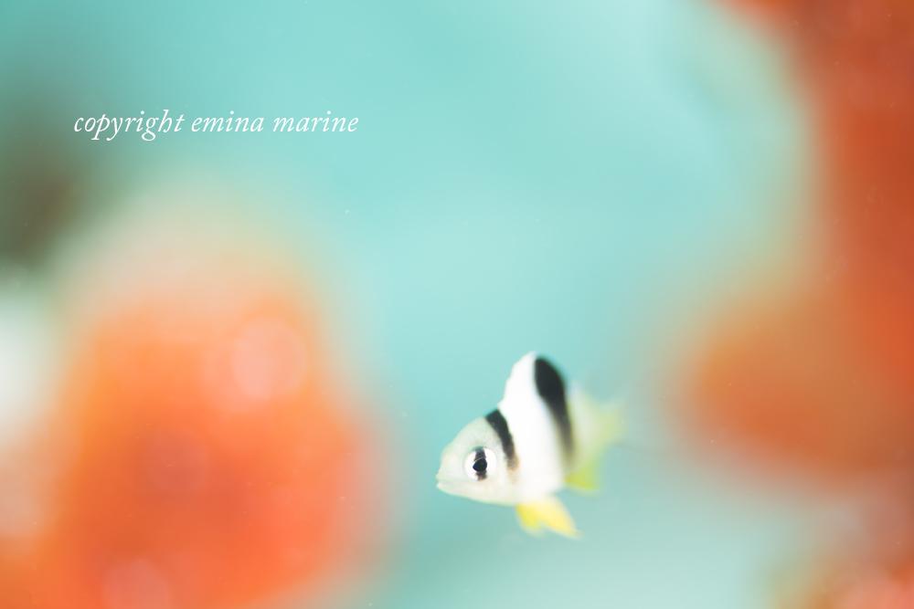 ホワイトダムゼル幼魚