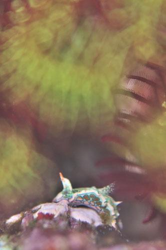 トウモンウミコチョウ