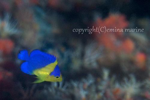 スミレヤッコ幼魚
