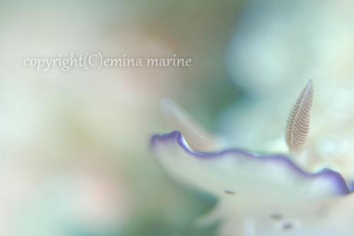 マダライロウミウシ