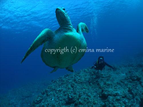 アオウミガメと2