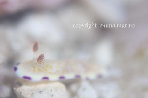 ヒメコモンウミウシ