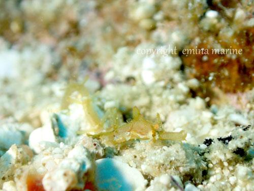 タツウミヤッコ幼魚