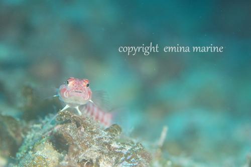 サンゴトラギス