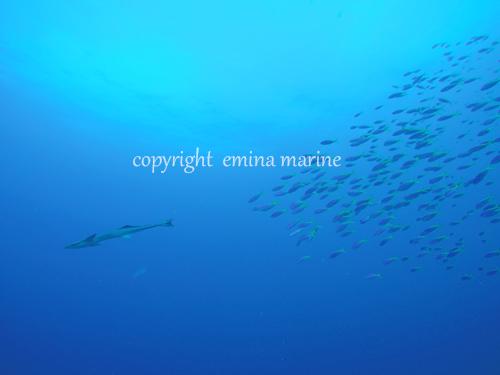 ウメイロモドキを引き連れるコバンザメ