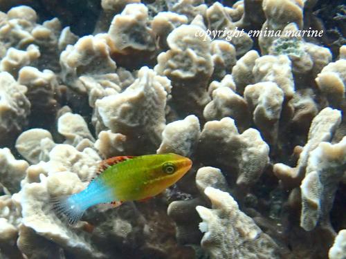 アミメブダイ幼魚ステージ2