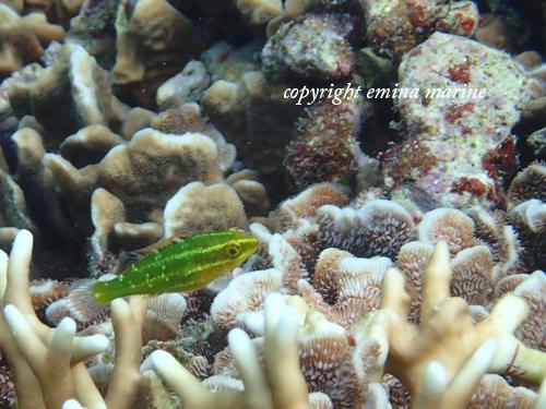 アミメブダイ幼魚ステージ1