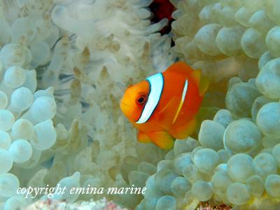 ハマクマノミ幼魚2本線