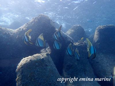 ツバメウオの幼魚たち