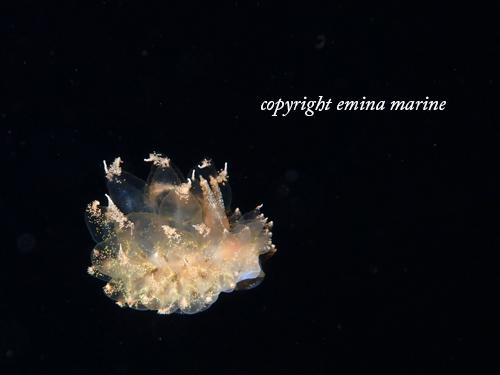 浮遊するウミウシ
