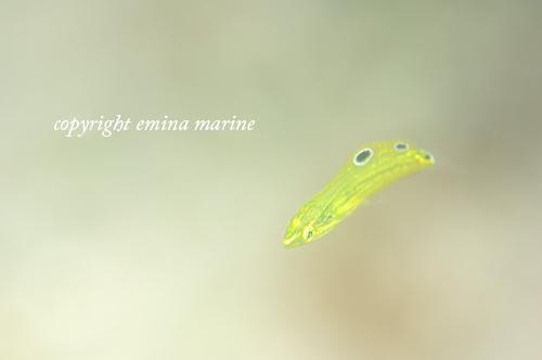 コガネキュウセン幼魚