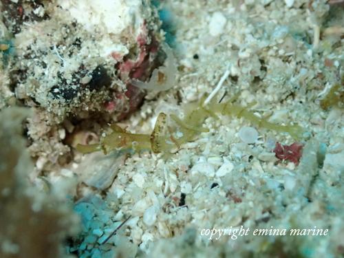 タツウミヤッコの幼魚