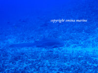 トラフザメ(レオパードシャーク)