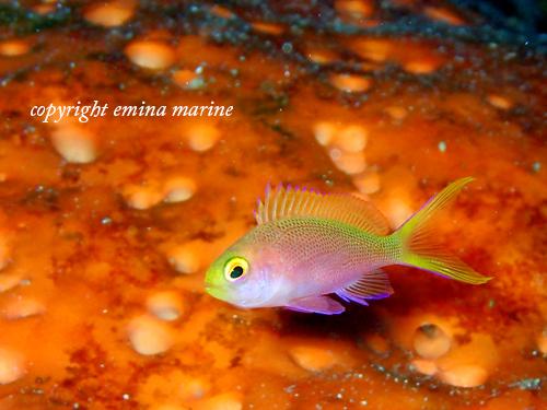 フチドリハナダイ幼魚