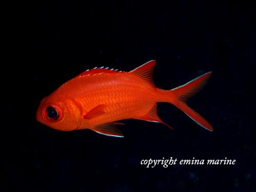 アカマツカサ若魚