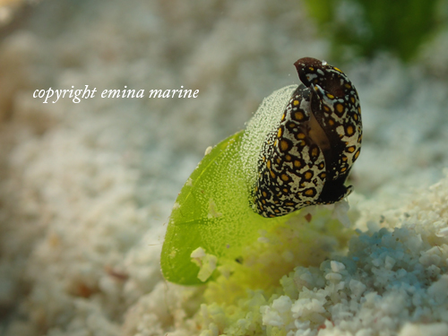 ヒョウモンツバメガイの産卵