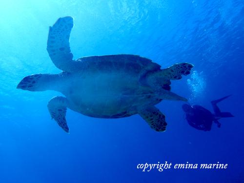 アオウミガメと一緒にダイビング