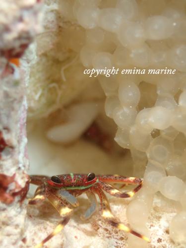 トゲアシガニとミミイカのたまご