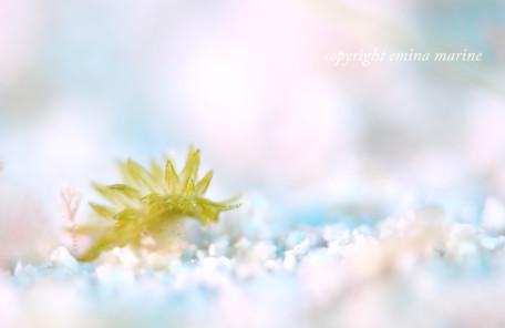 ミドリアマモウミウシ