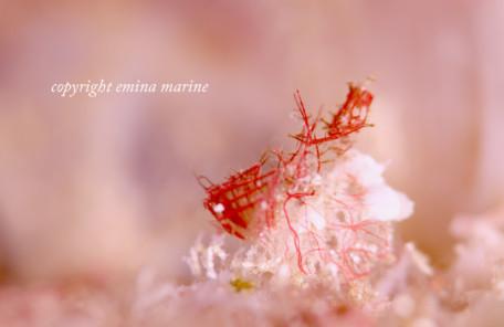 オリヅルエビ(赤白)