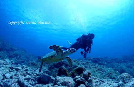 アオウミガメと