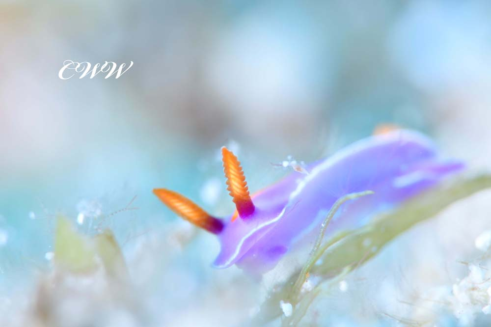 キイッポンウミウシ