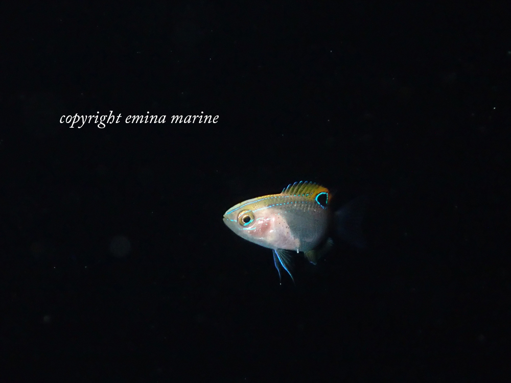 スズメダイ幼魚