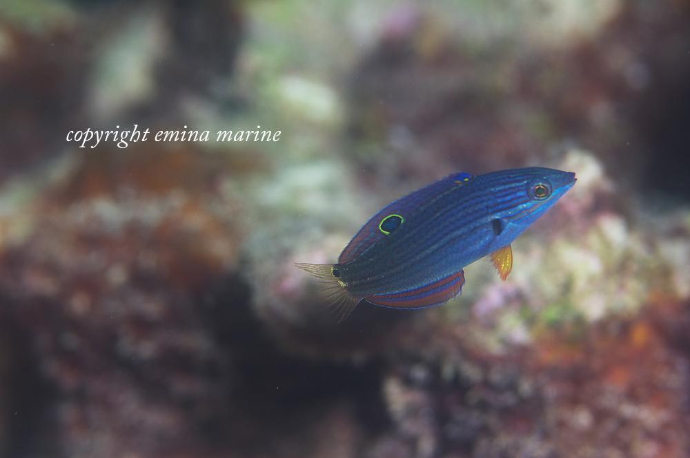 ムナテンベラ幼魚
