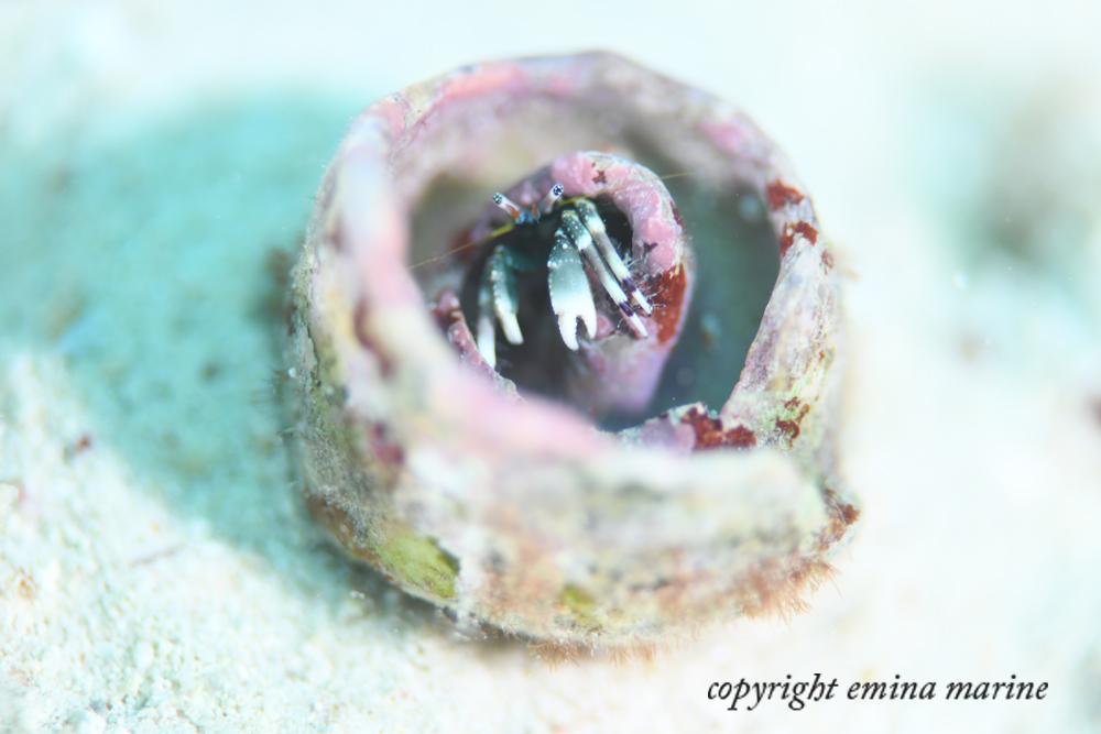 大きな貝殻に住むヤドカリさん