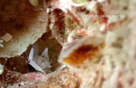 サンゴヒメエビの仲間