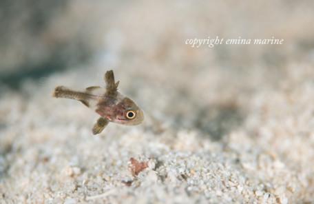 カクレテンジクダイ幼魚