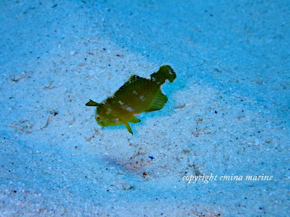 テンスの幼魚
