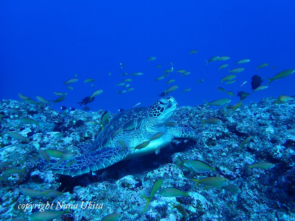 アオウミガメとアカネハナゴイ