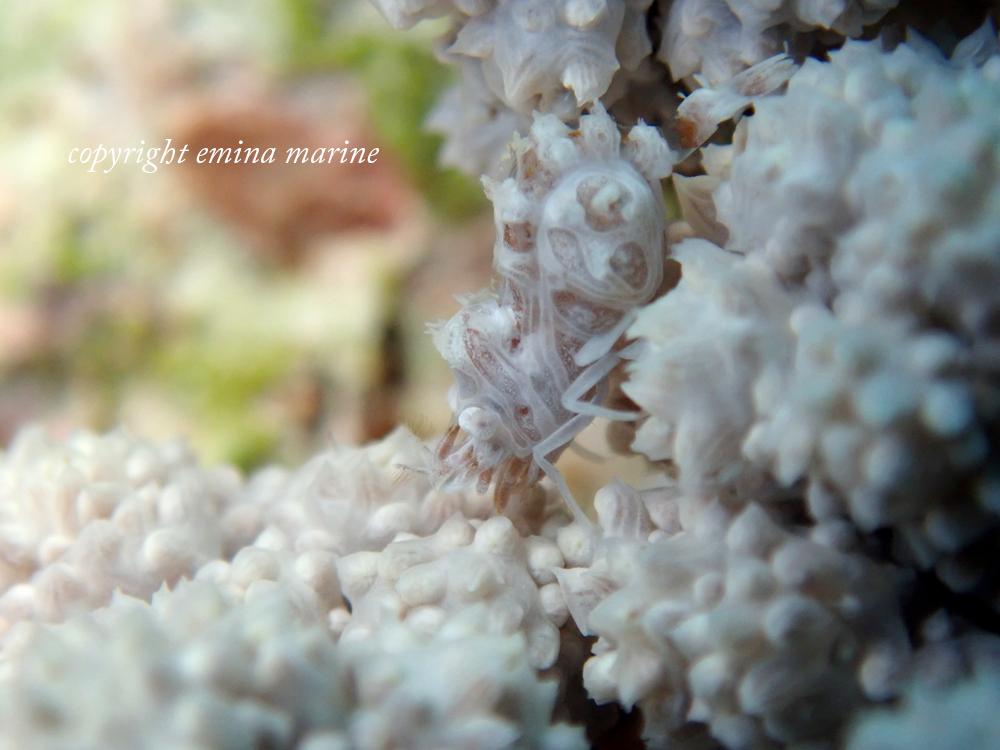 マルミカクレモエビ
