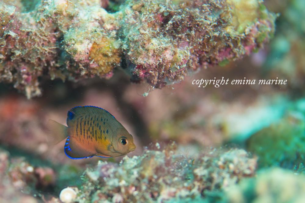 アカハラヤッコ幼魚