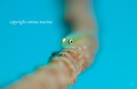 ガラスハゼ幼魚