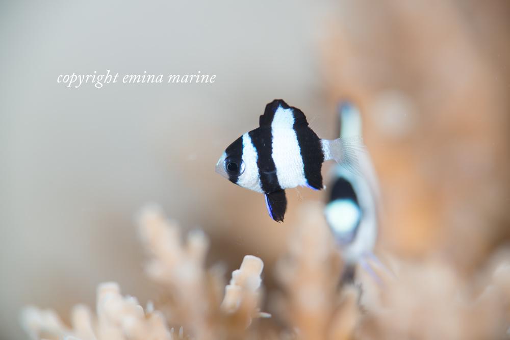 ミスジリュウキュウスズメダイ幼魚