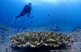 ナンヨウハギ幼魚と