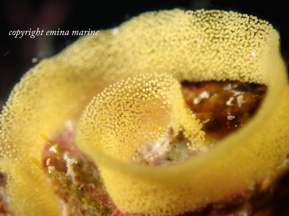 ウミウシのたまご