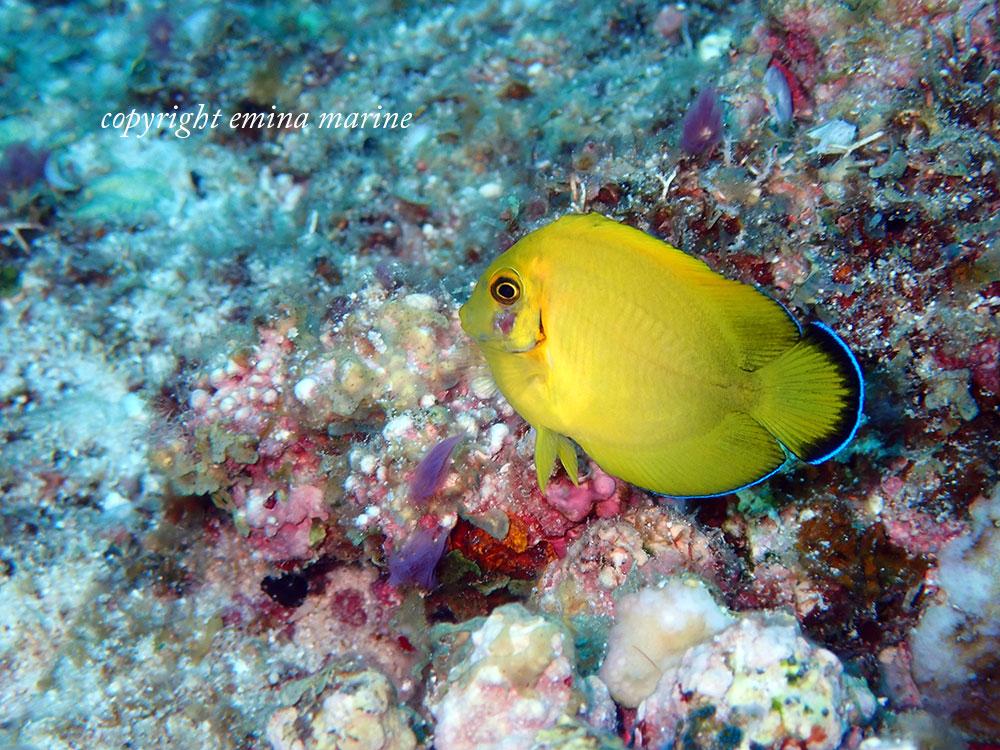 クログチニザ幼魚