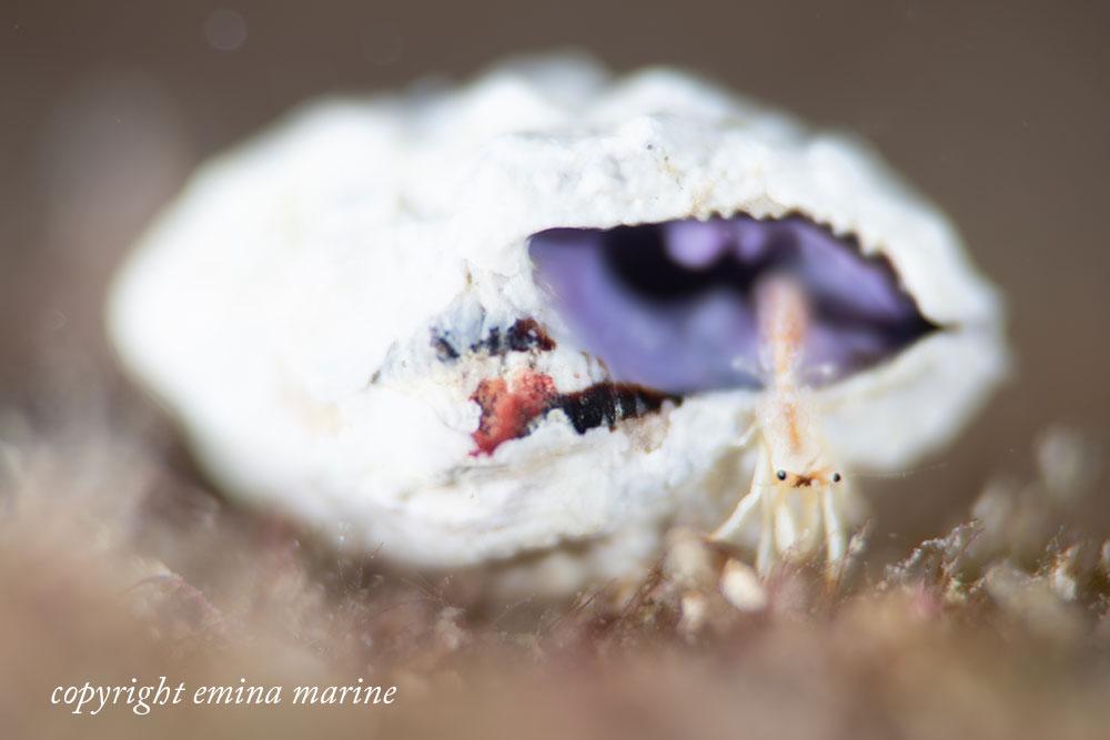 アカツメサンゴヤドカリ幼体