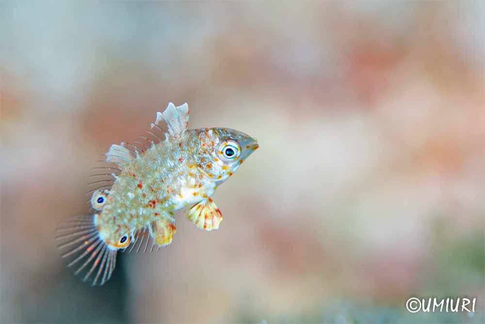 ノドクロベラ幼魚