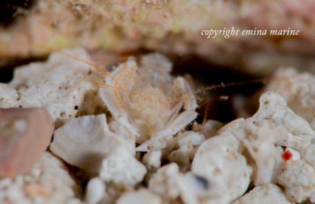 サンゴヒメエビ