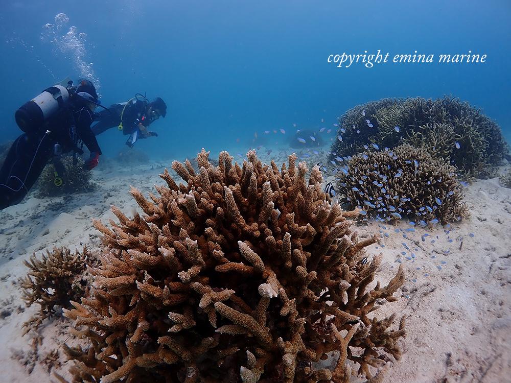 珊瑚と魚たちに包まれる新人ダイバーさん