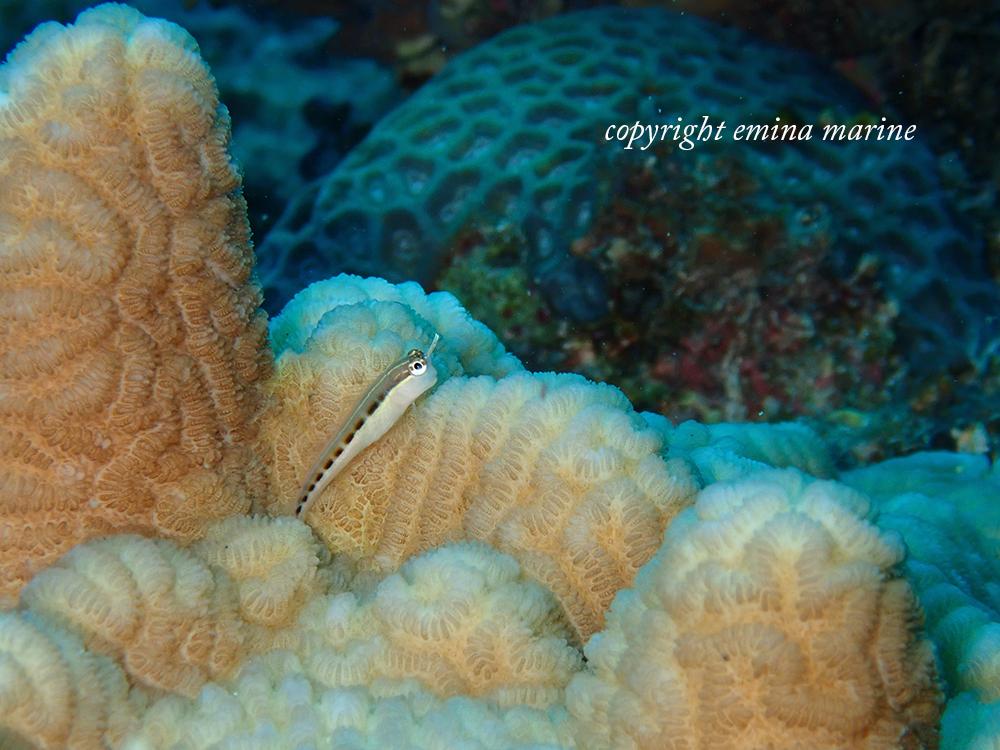 ヒトスジギンポ幼魚