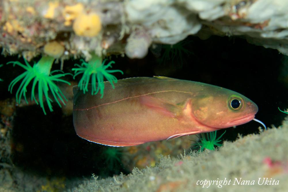 なんか深海魚?珍しいみたい。一本ひげに注目!!