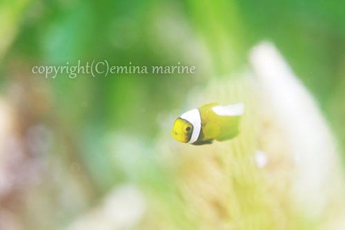 トウアカクマノミ幼魚