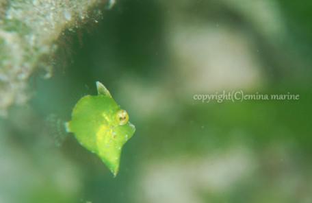 セダカカワハギ幼魚